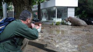 Bedövningspil skjuts mot flodhästen.