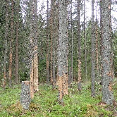 Granar i skogen och barken har lossnat från granarna.
