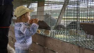 Ett barn står och tittar in i en rävbur. I bakgrunden syns rävar. Vi befinner oss på en rävfarm.