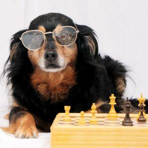 En tax med glasögon sitter vid ett schackbord.