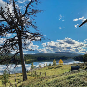 Näkymä Kaapin Jounin kentältä Lemmenjoelle, kansallispuistossa lapissa, etualalla kelopuu, taustalla joki ja tuntureita.