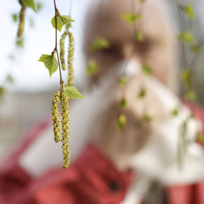Närbild på björkgren och en pollenallergiker som snyter i en näsduk i bakgrunden.