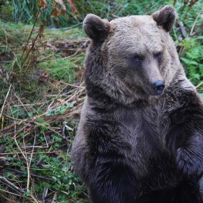 Ranuan eläinpuiston Emma karhu