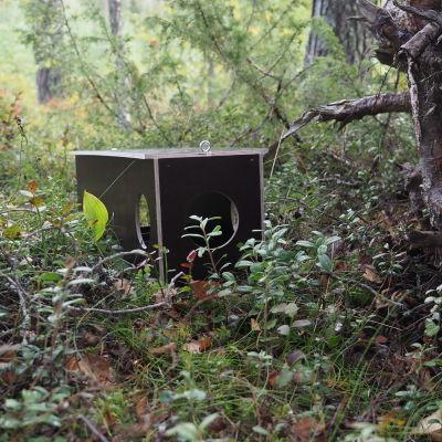 Pienpetoloukku metsässä kaatuneen puun juurakossa.