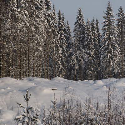 Luminen hakkuuaukea metsässä