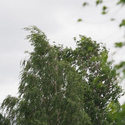 koivut heiluvat tuulessa taivasta vasten