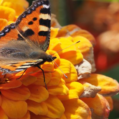 Bild av en nässelfjäril på en orange blomma.