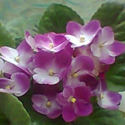 Kaksi eri värivivahdetta saintpaulian kukassa