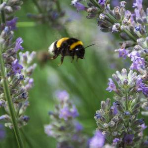 Humla som flyger bland lavendel