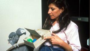 Irene Pepperberg näyttää Alex-papukaijalle laatikkoa, jossa on sininen ja vihreä muovimuna