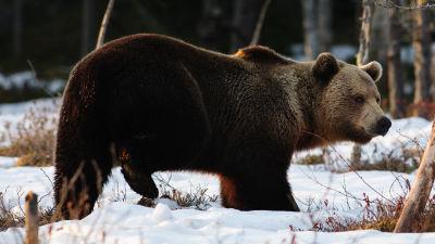En brunbjörn går i skogen som täcks av ett tunt snötäcke.
