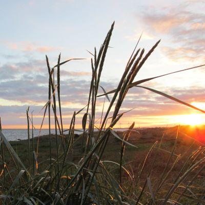Strandgräs i solnedgång.