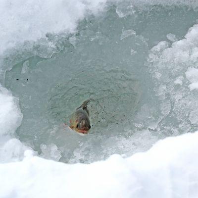Kala avannossa