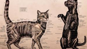 Plansch föreställande katters anatomi