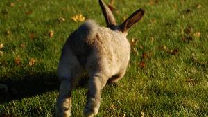 en kanin som skuttar iväg över höstgrönt gräs. Man ser den bakifrån