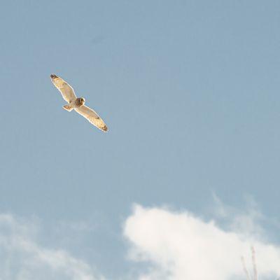Suopöllö lennossa