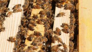 Avoinainen mehiläispesä, missä paljon mehiläisiä.