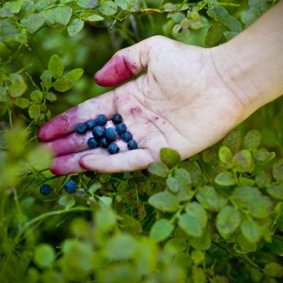 En hand som håller i blåbär ovanför blåbärsris.