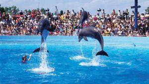 Delfiinit esiintyvät suuren ihmisjoukon edessä.
