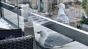 Ett par måsar tittar in på takterrassen på en restaurang i Riga