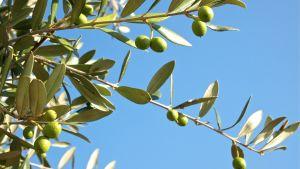 Oliivipuun oksa