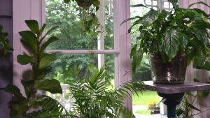 Fönster med krukväxter