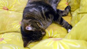 Katt ligger på gul soffa.