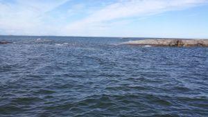 hylkeen pää kaukana merellä