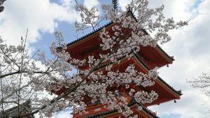 Kirsikankukkapuu