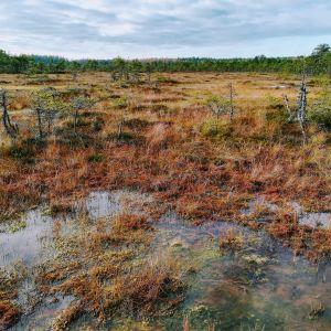 På bilden syns en våtmark med brunt och rödaktigt gräs samt små träd. Långt borta syns trädgränsen och en bit av himlen.