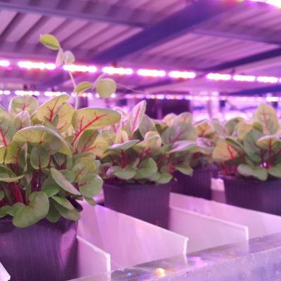 Plantor i växthus.