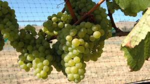 Vinranka med klasar av chardonnaydruvor.
