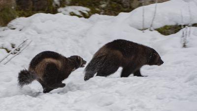 Ahmapari Ähtärin eläinpuistossa, Julia jahtaa Mattia lumella