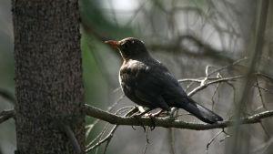Mustarastas puun oksalla