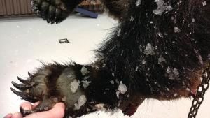 En björn attackerade en man i Orivesi