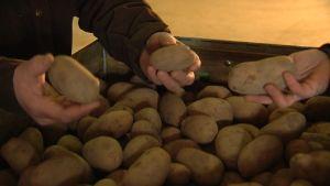 Just nu är det brist på potatis i Finland