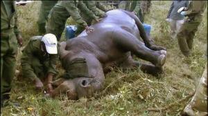 Noshörning får mikrochip insatt i hornet
