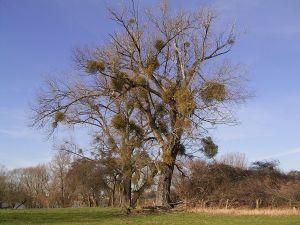 Misteln lever på lövträdens näring
