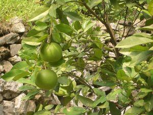 Grapefrukter växer på träd.