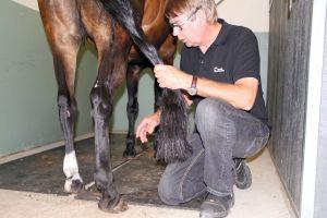 Eläinlääkäri katsoo hevosen jalkaa