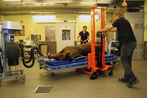 Eläinlääkäri kuljettaa nukutettua hevosta