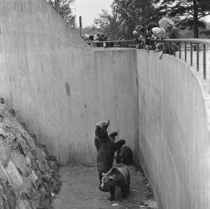 Karhut kerjäävät ruokaa eläintarhan kävijöiltä 1964.