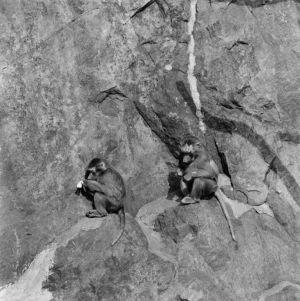 Kaksi apinaa kököttää kallionseinämällä.