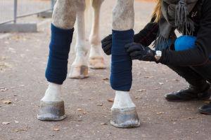 nainen laittaa pinteliä valkoisen hevosen jalkaan