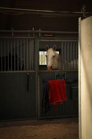 Valkoinen hevonen katsoo karsinasta