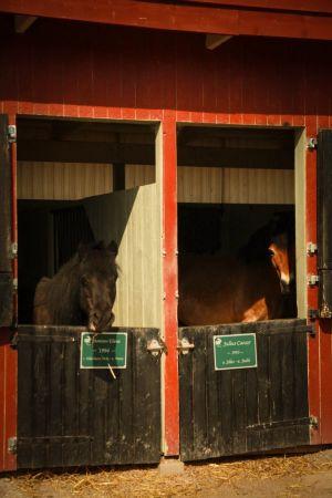 kaksi hevosta katsoo karsinoistaan