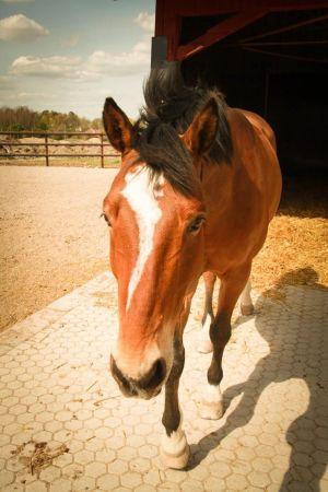 ruskea hevonen tulee kameraa kohti