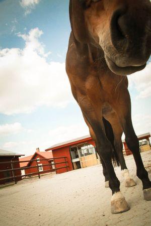 Ruskean hevosen jalat ja pään alaosa