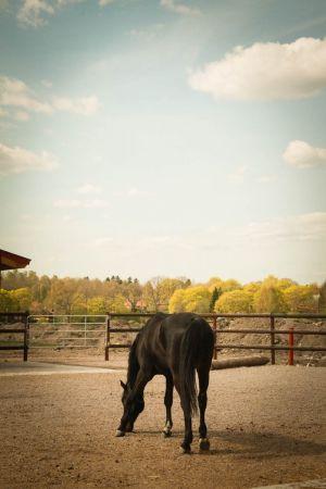 Tumma hevonen tarhassa