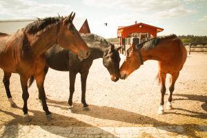 kolme hevosta seisoo ulkona turvat vastakkain